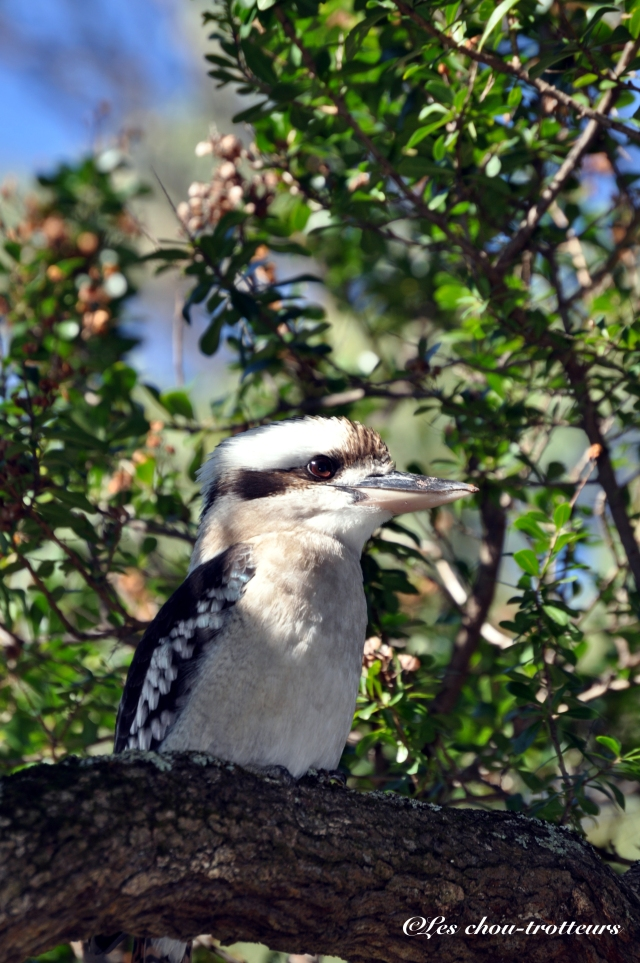 Le Kookaburra Tasmanie